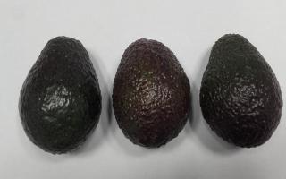 AVOCAT Pérou cal 26 lot de 3 pièces